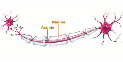 Viva la mielina!